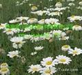 除虫菊 4