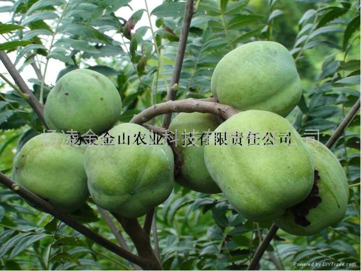 文冠果种子苗木 1