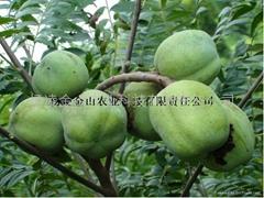文冠果種子苗木
