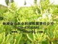 树型金银花 1