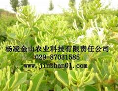 樹型金銀花