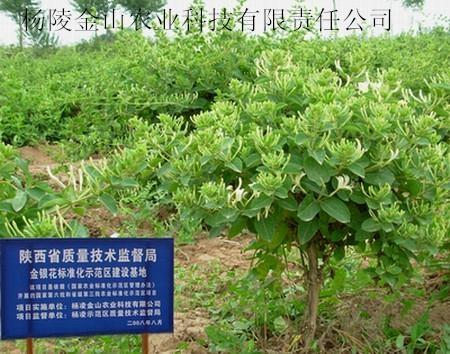 树型金银花 4
