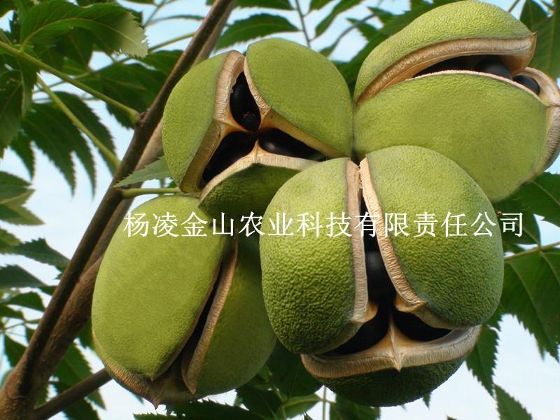 文冠果种子苗木 2