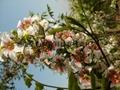 文冠果种子苗木 3