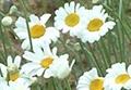 除虫菊 3
