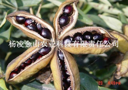 油用牡丹种子  牡丹苗子  牡丹籽 1