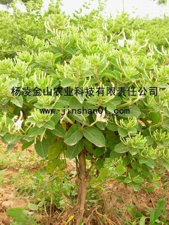 树型金银花种苗 金银花  金花3号 2
