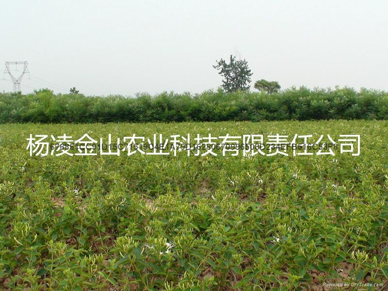 树型金银花种苗 金银花  金花3号 1