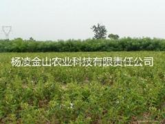 樹型金銀花種苗 金銀花  金花3號