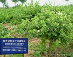 树型金银花  中国杨凌  杨凌农科技