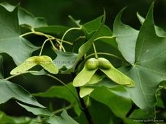 供應優質元寶楓種苗