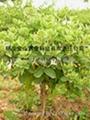 树型金银花 2
