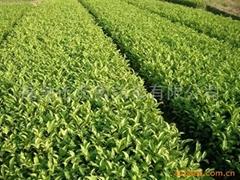 福鼎大白茶茶苗(茶叶种苗、种子)