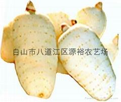 長白山天麻種麻菌種