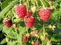 秋福雙季樹莓