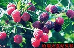 哈瑞太兹秋果型双季树莓