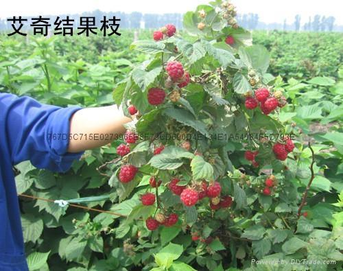 H果(艾奇)雙季樹莓 2