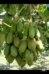 軟棗獼猴桃苗