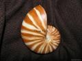 台灣名品-鸚鵡螺