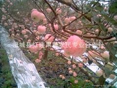 Large supply of Shaanxi Red Fuji apple