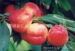 沙红桃 油桃