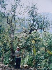 公司原料基地--布朗族先民栽種的千年古茶樹