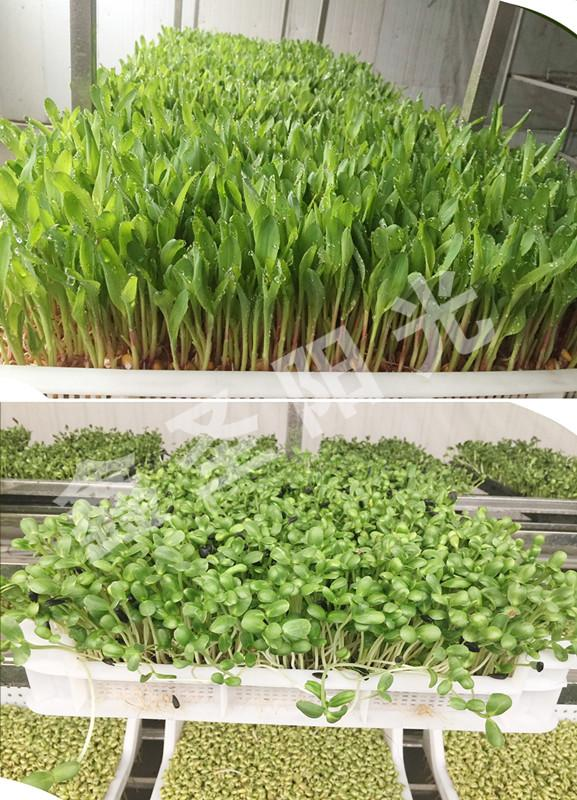 Large bean sprouts production machine to green sprouts machine 5