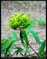 Flowers Peony - Chunliu
