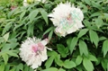 Peony - silver crown