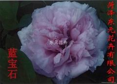 中国牡丹-蓝宝石