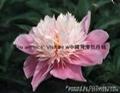 Peony - lotus