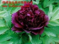 Flowers Peony - Smoke Dragon Callicarpa