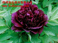 鮮花牡丹-煙龍紫珠盤