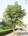 紅豆杉苗 1