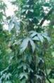 金絲楠木 2