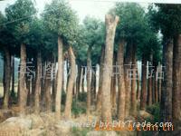 紅豆杉 3