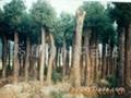 紅豆杉苗 3