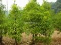 紅豆杉苗 2