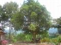 紅豆杉苗 4