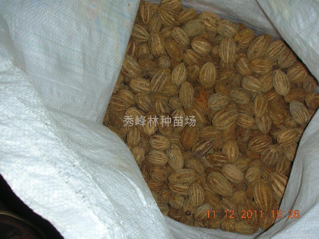 紅豆杉苗 5