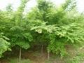 雞爪槭小苗 3
