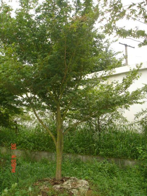 雞爪槭小苗 4