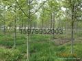 楓香樹種子