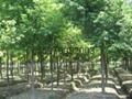 重陽木樹 2
