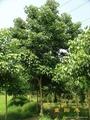 重陽木樹 3