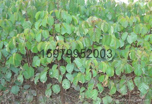 重陽木樹 4