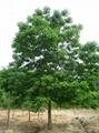 重陽木樹 5