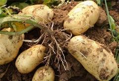 脱毒马铃薯种薯