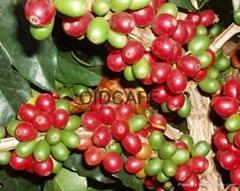 小粒阿拉比卡生豆AA級1磅特價批發