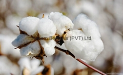 100% natural raw cotton